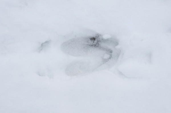 след лося на снегу