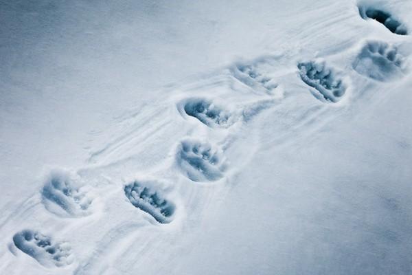 следы медведя на снегу