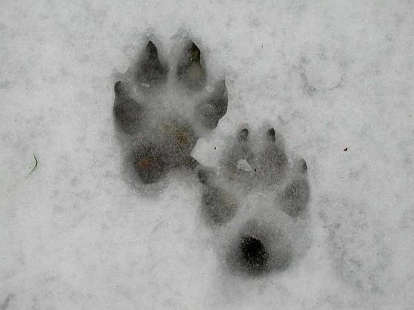 следы волка на снегу