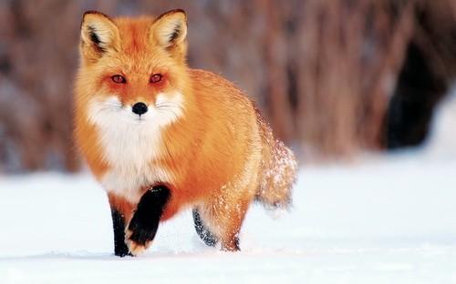 Учимся определять следы животных на снегу