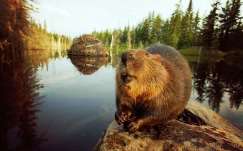 Осенняя охота на выдру, бобра и пернатых в Беларуси