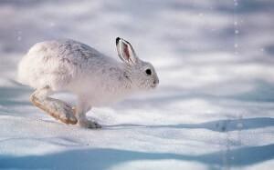 Охота на зайца в Беларуси: виды зайцев